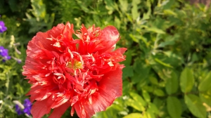 redbloom
