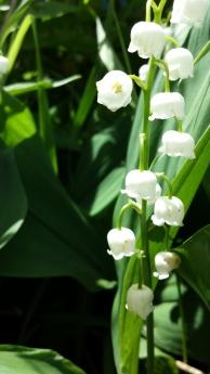 White coral bells, upon a slender stalk...